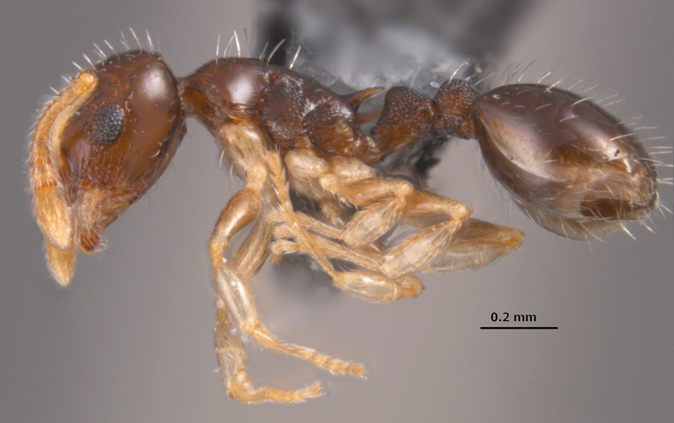 Temnothorax tuscaloosae side view