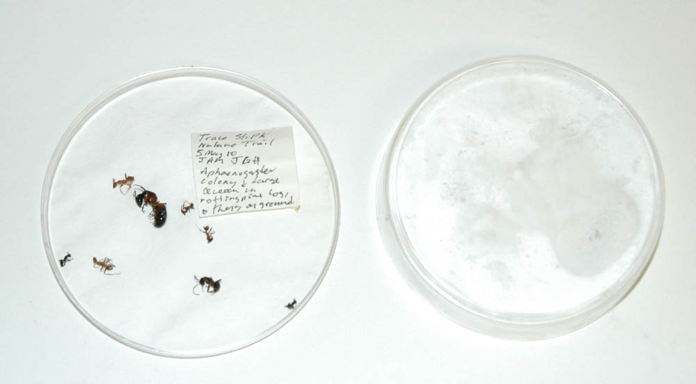Petri Dish with ants