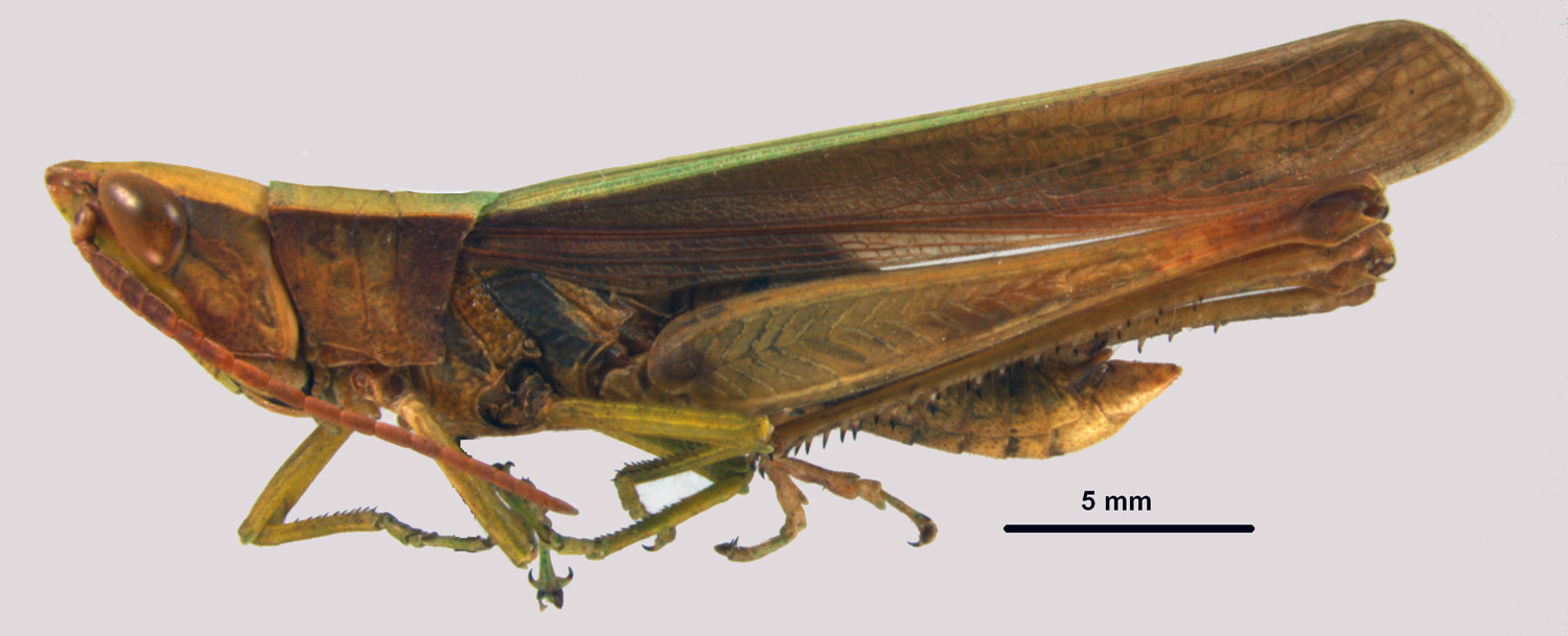 Metaleptea brevicornis clipped winged grasshopper