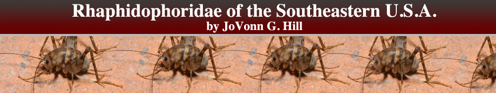 Rhaphidophoridae of the Southeastern U.S.A.