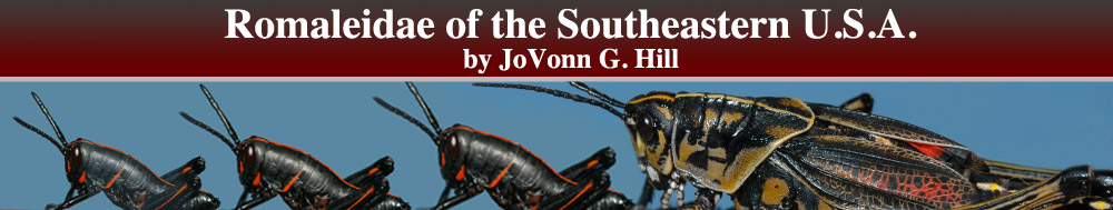 Romaleidae of the Southeastern United States