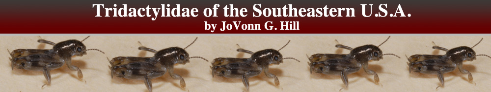 Tridactylidae of the Southeastern United States