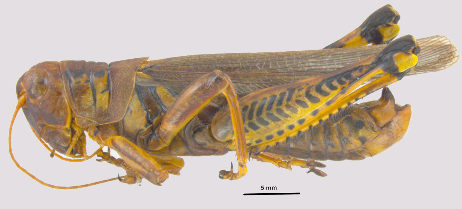 Melanoplus differentialis Differential Grasshopper