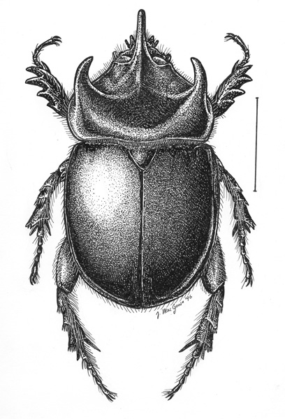 Image Gallery scarab drawing